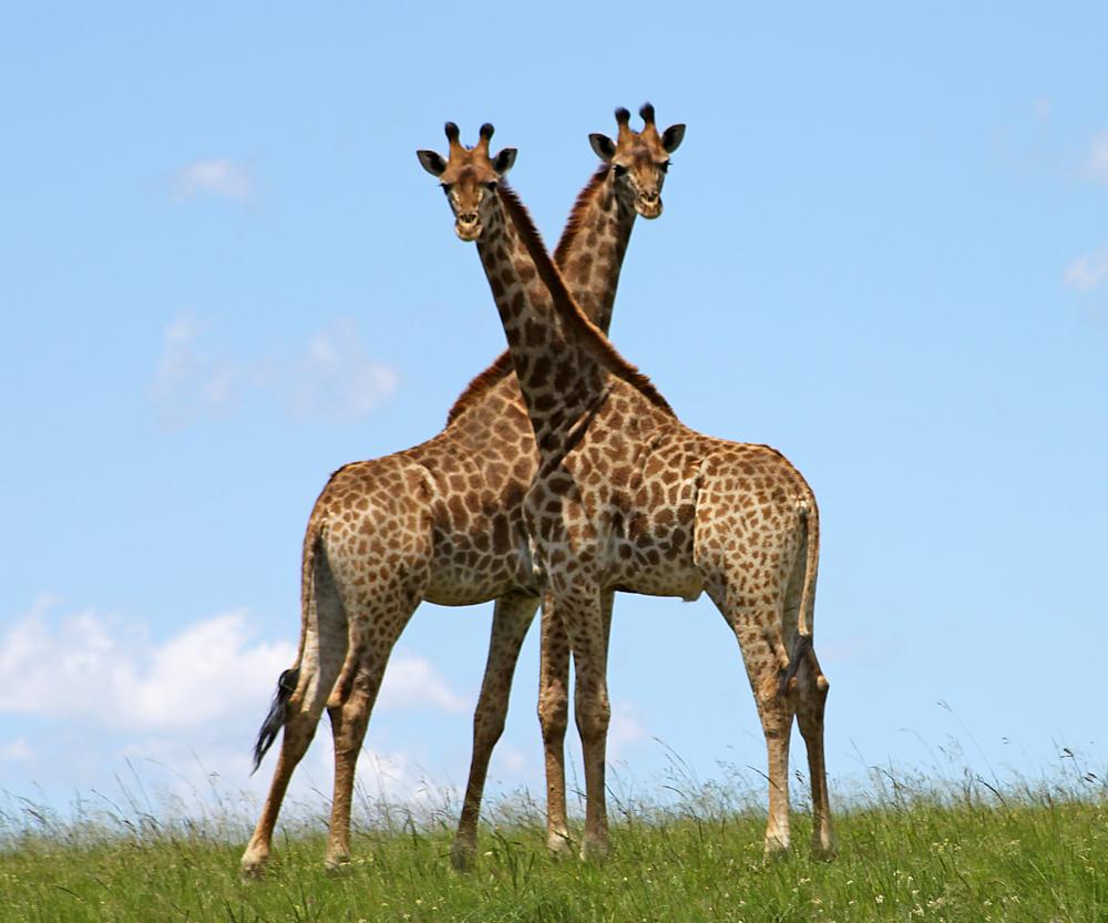 giraffenText